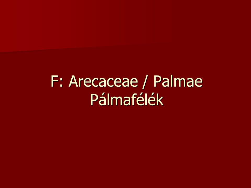 F: Arecaceae / Palmae Pálmafélék