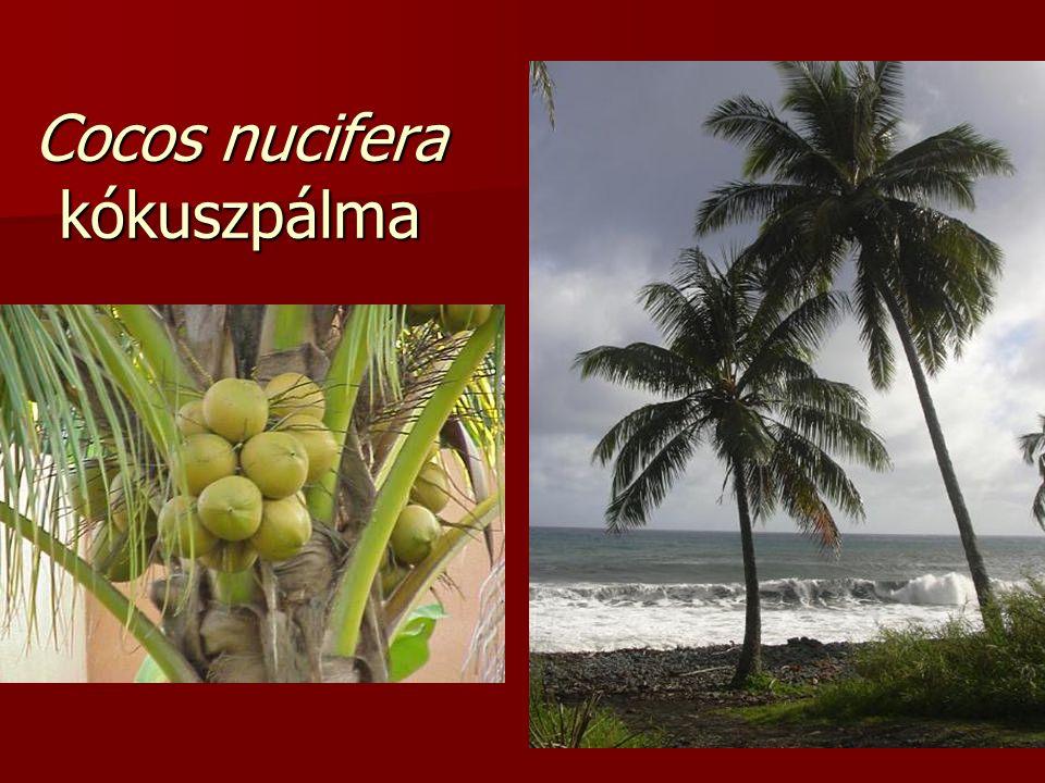 Cocos nucifera kókuszpálma