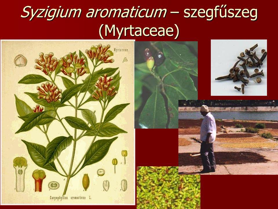 Syzigium aromaticum – szegfűszeg (Myrtaceae)