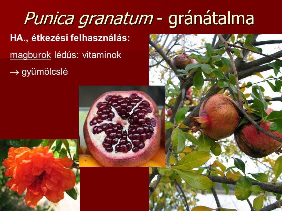 Punica granatum - gránátalma HA., étkezési felhasználás: magburok lédús: vitaminok  gyümölcslé