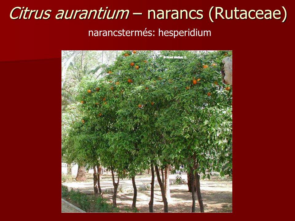 Citrus aurantium – narancs (Rutaceae) narancstermés: hesperidium