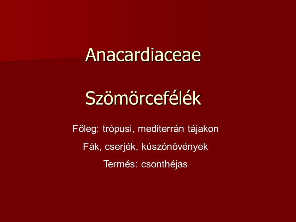 Anacardiaceae Szömörcefélék Főleg: trópusi, mediterrán tájakon Fák, cserjék, kúszónövények Termés: csonthéjas