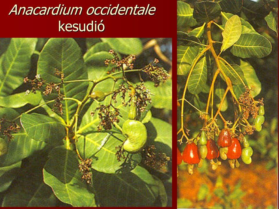Anacardium occidentale kesudió