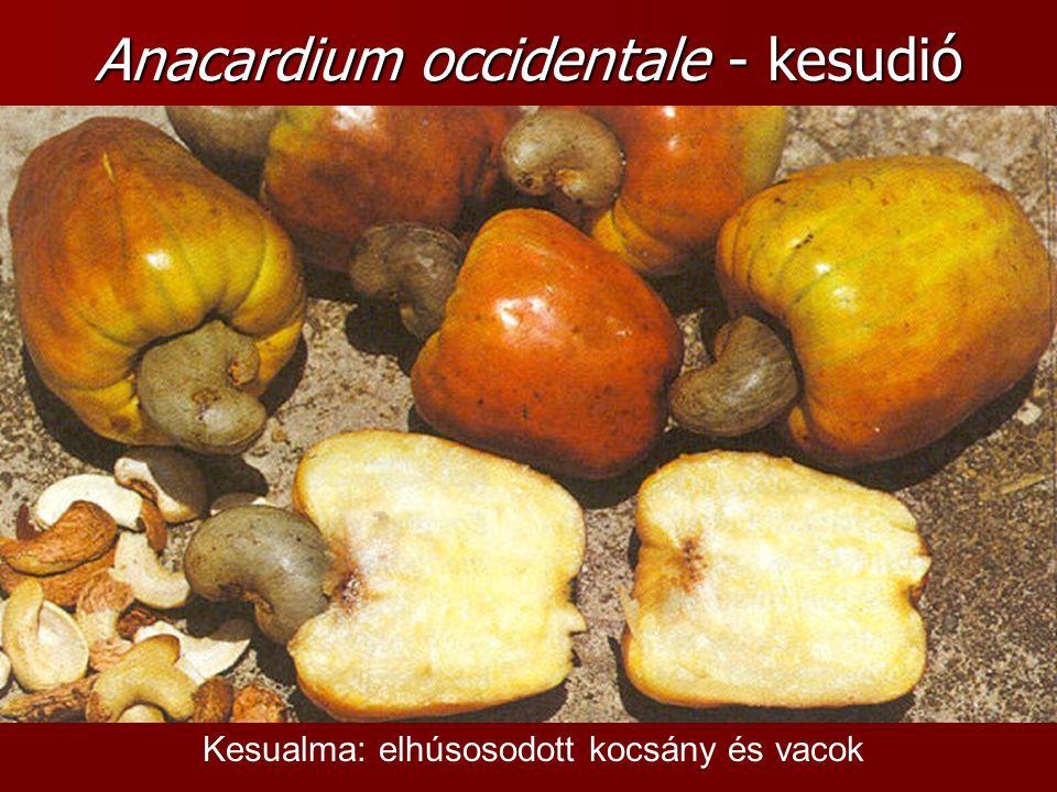 Anacardium occidentale - kesudió Kesualma: elhúsosodott kocsány és vacok