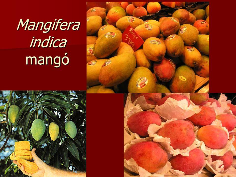 Mangifera indica mangó