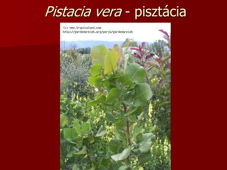 Pistacia vera - pisztácia