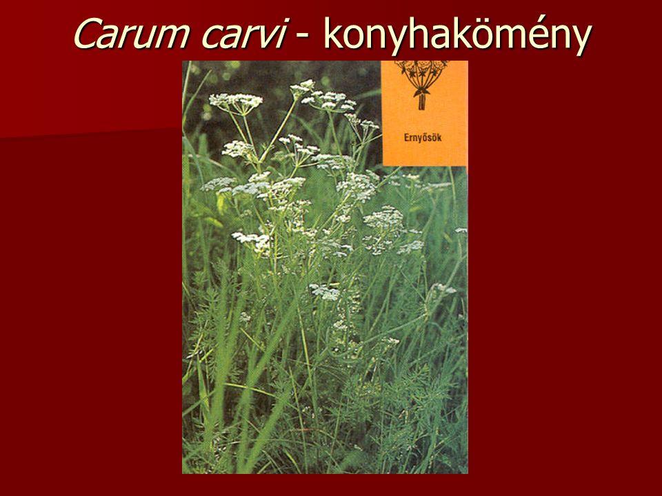Carum carvi - konyhakömény