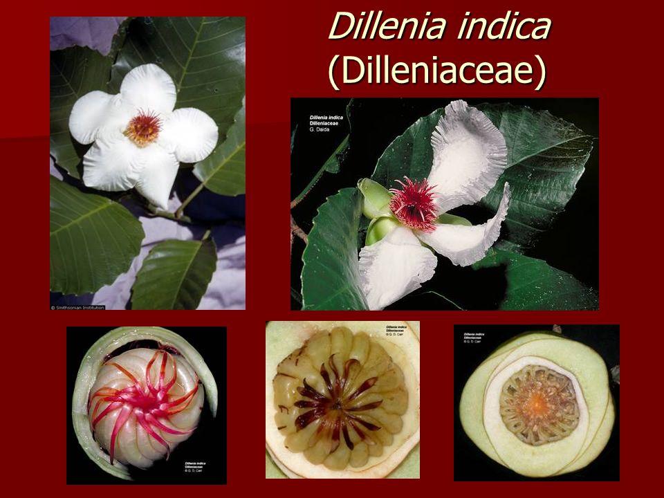 Dillenia indica (Dilleniaceae)