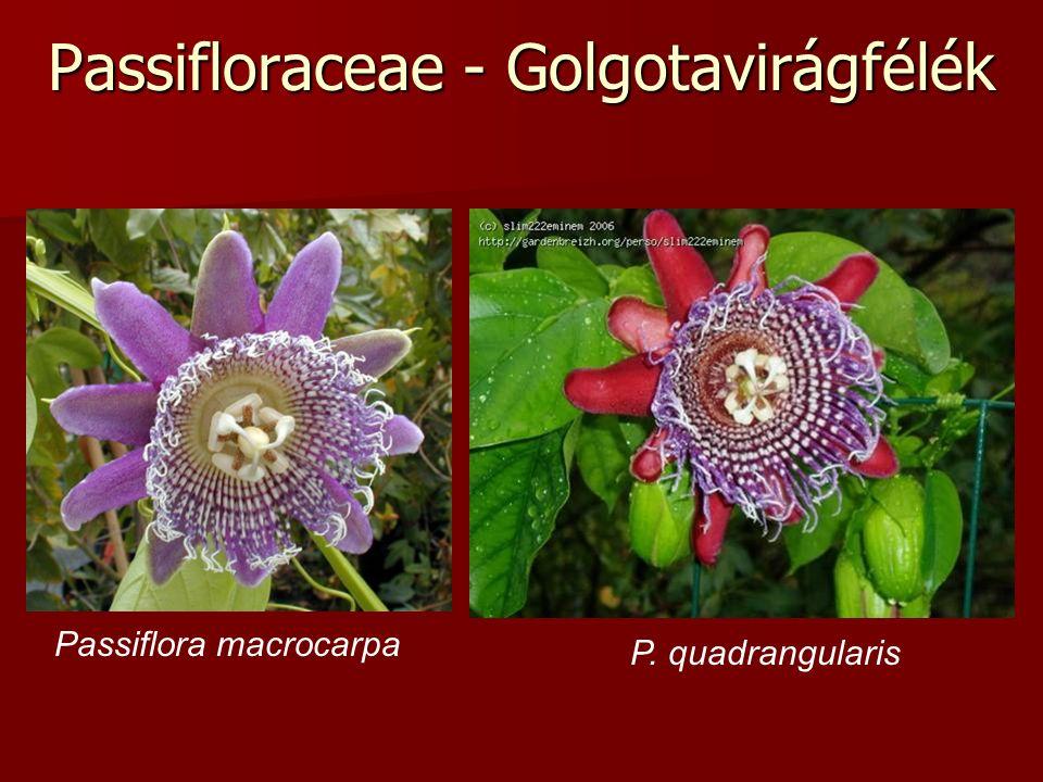 Passifloraceae - Golgotavirágfélék Passiflora macrocarpa P. quadrangularis