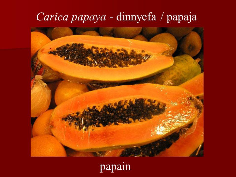papain Carica papaya - dinnyefa / papaja