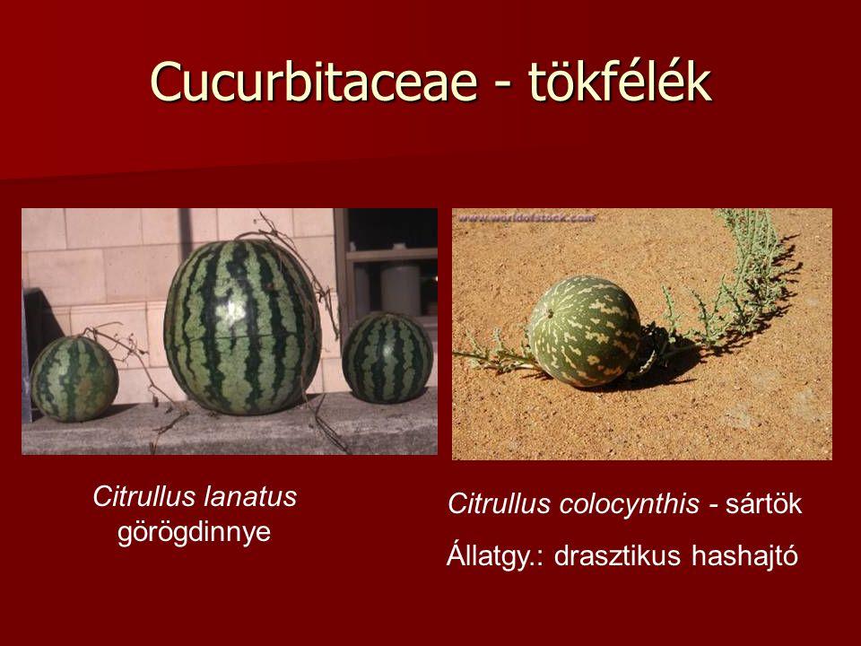Cucurbitaceae - tökfélék Citrullus lanatus görögdinnye Citrullus colocynthis - sártök Állatgy.: drasztikus hashajtó