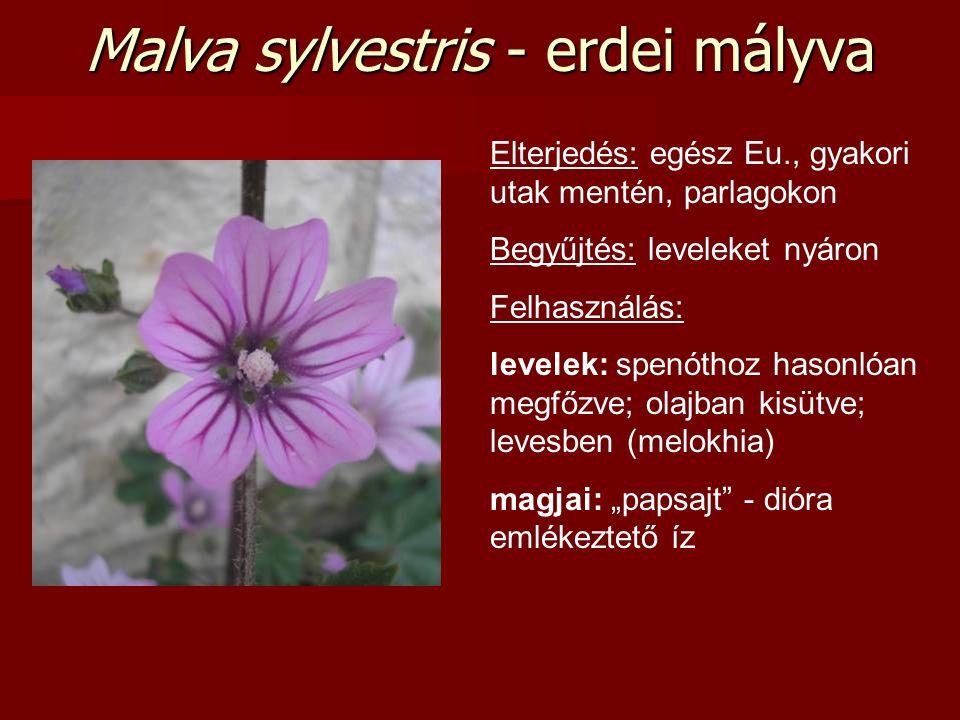 Elterjedés: egész Eu., gyakori utak mentén, parlagokon Begyűjtés: leveleket nyáron Felhasználás: levelek: spenóthoz hasonlóan megfőzve; olajban kisütv