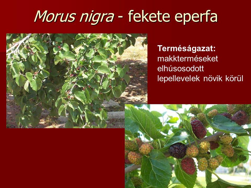 Morus nigra - fekete eperfa Terméságazat: makkterméseket elhúsosodott lepellevelek növik körül