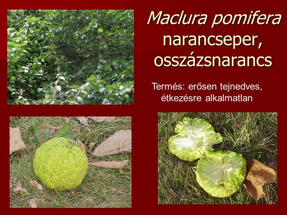 Maclura pomifera narancseper, osszázsnarancs Termés: erősen tejnedves, étkezésre alkalmatlan