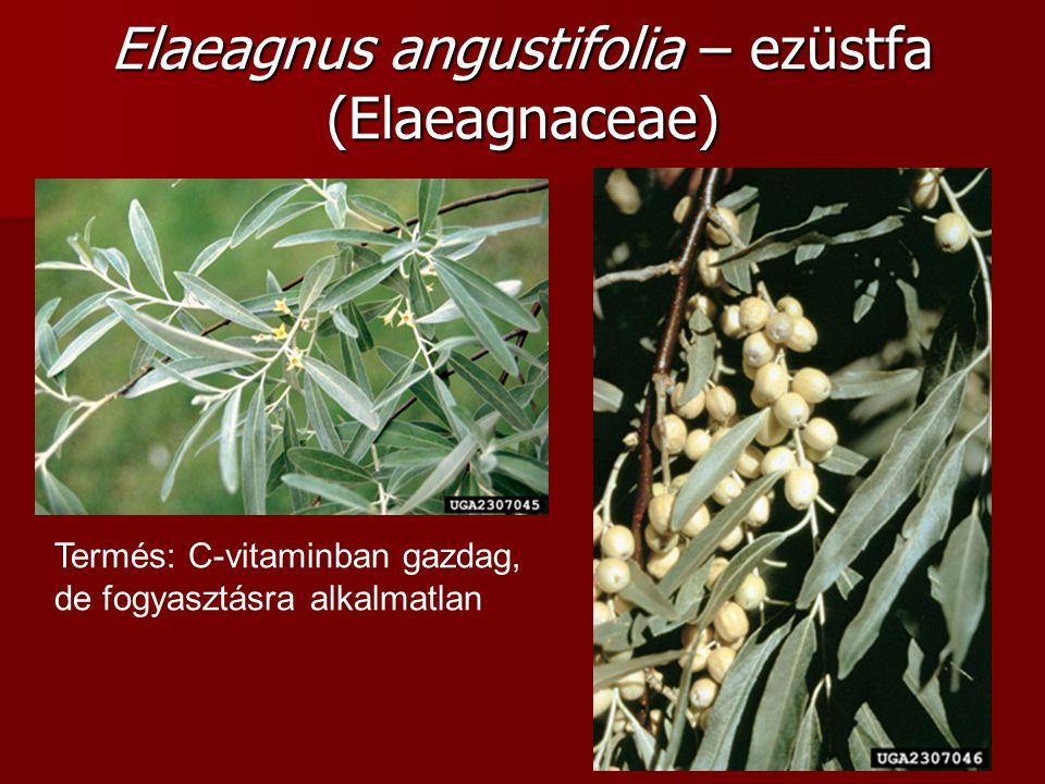 Termés: C-vitaminban gazdag, de fogyasztásra alkalmatlan Elaeagnus angustifolia – ezüstfa (Elaeagnaceae)