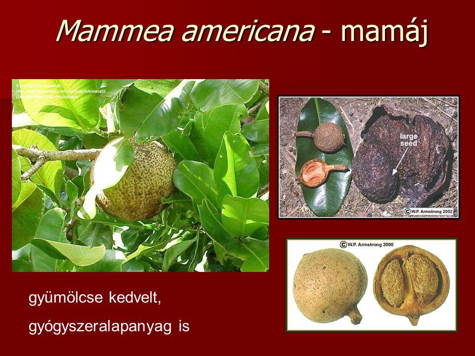 Mammea americana - mamáj gyümölcse kedvelt, gyógyszeralapanyag is
