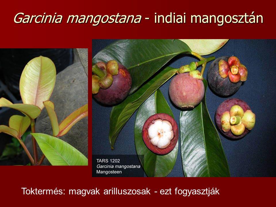 Garcinia mangostana - indiai mangosztán Toktermés: magvak arilluszosak - ezt fogyasztják