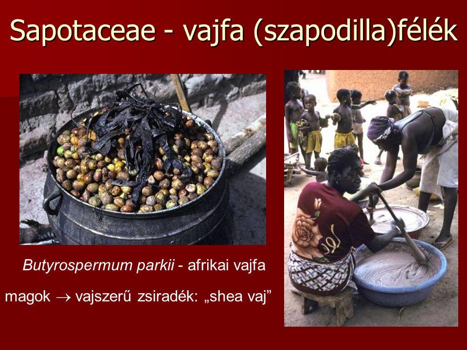 "Sapotaceae - vajfa (szapodilla)félék Butyrospermum parkii - afrikai vajfa magok  vajszerű zsiradék: ""shea vaj"