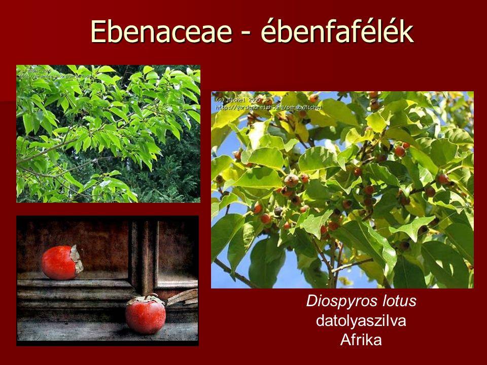 Ebenaceae - ébenfafélék Diospyros lotus datolyaszilva Afrika