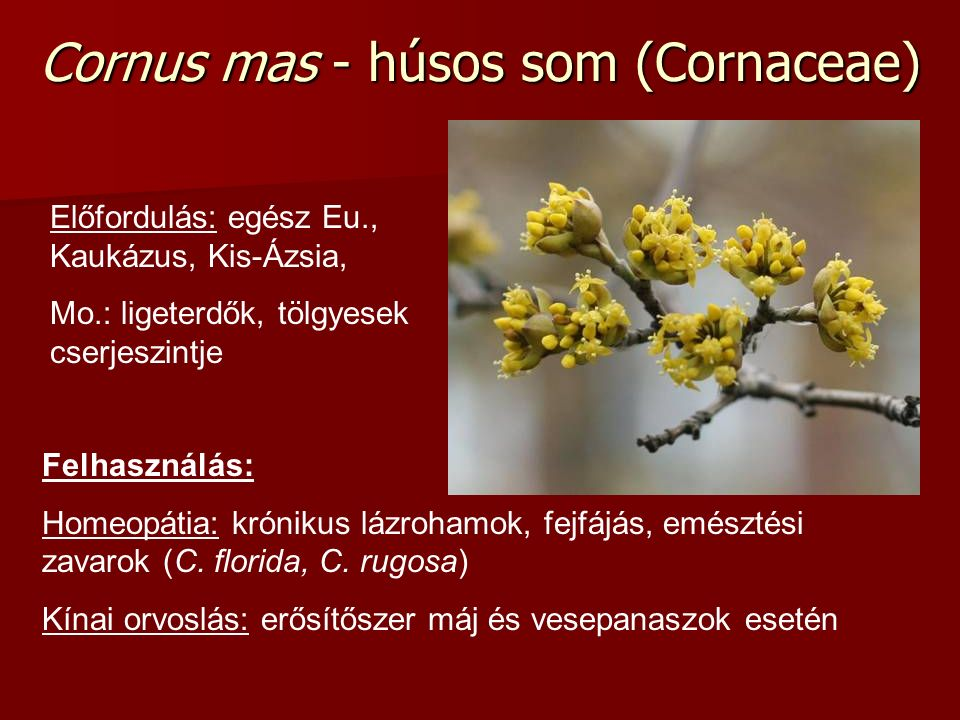 Cornus mas - húsos som (Cornaceae) Előfordulás: egész Eu., Kaukázus, Kis-Ázsia, Mo.: ligeterdők, tölgyesek cserjeszintje Felhasználás: Homeopátia: krónikus lázrohamok, fejfájás, emésztési zavarok (C.