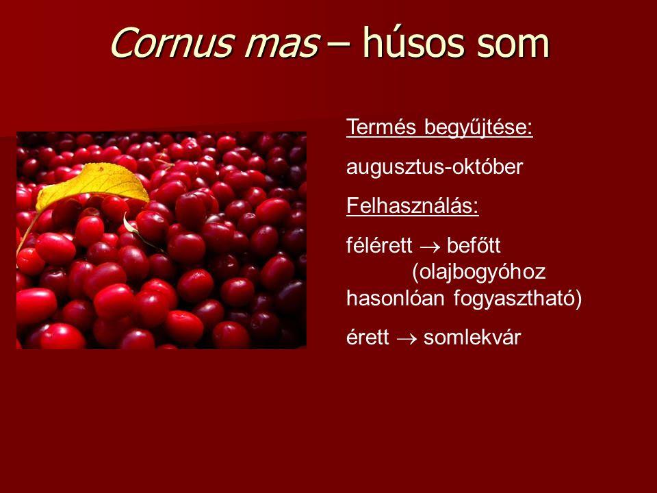 Cornus mas – húsos som Termés begyűjtése: augusztus-október Felhasználás: félérett  befőtt (olajbogyóhoz hasonlóan fogyasztható) érett  somlekvár