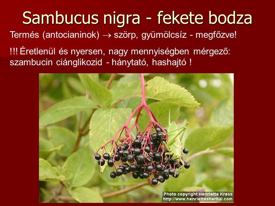 Sambucus nigra - fekete bodza Termés (antocianinok)  szörp, gyümölcsíz - megfőzve! !!! Éretlenül és nyersen, nagy mennyiségben mérgező: szambucin ciá