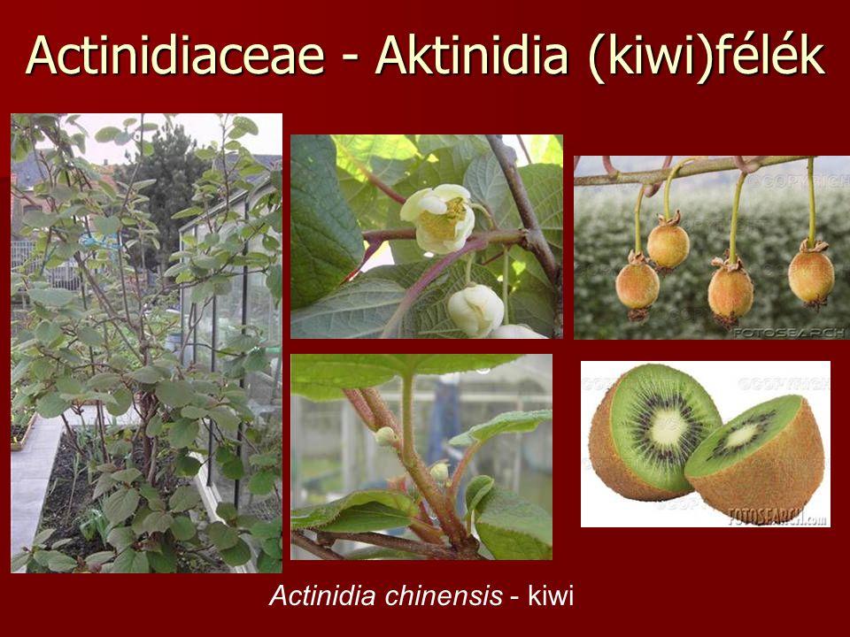 Actinidiaceae - Aktinidia (kiwi)félék Actinidia chinensis - kiwi
