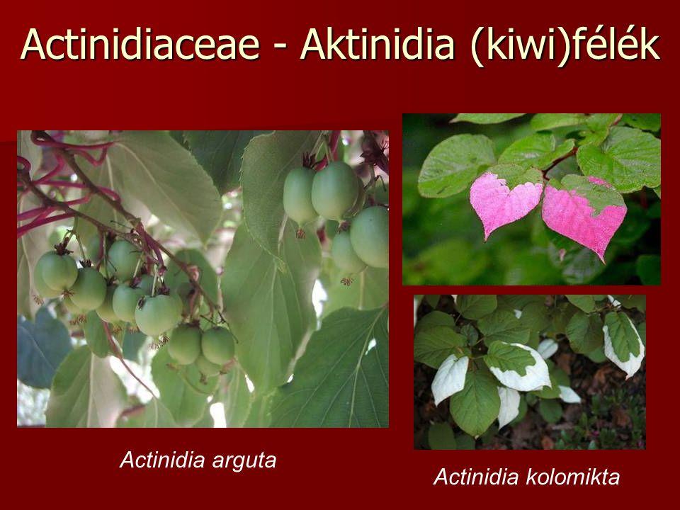 Actinidiaceae - Aktinidia (kiwi)félék Actinidia arguta Actinidia kolomikta