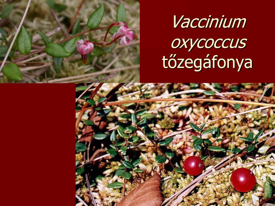 Vaccinium oxycoccus tőzegáfonya