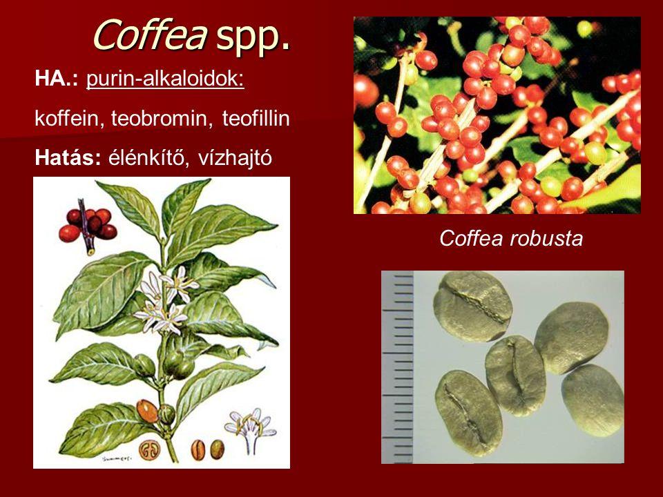 Coffea spp. HA.: purin-alkaloidok: koffein, teobromin, teofillin Hatás: élénkítő, vízhajtó Coffea robusta