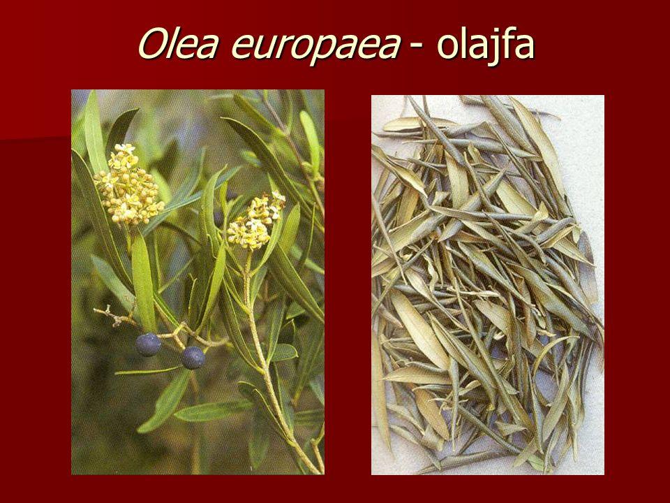 Olea europaea - olajfa