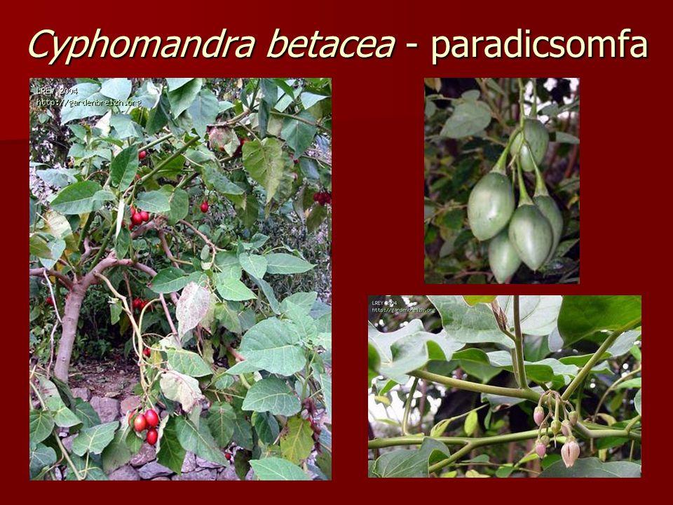 Cyphomandra betacea - paradicsomfa