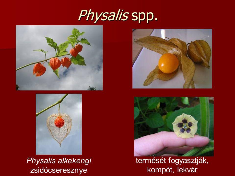 Physalis spp. Physalis alkekengi zsidócseresznye Ph. peruviana (D-Am.) termését fogyasztják, kompót, lekvár