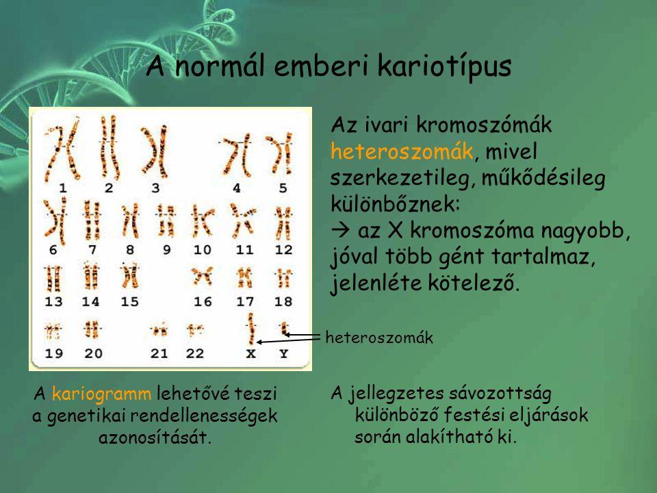 heteroszomák A jellegzetes sávozottság különböző festési eljárások során alakítható ki.