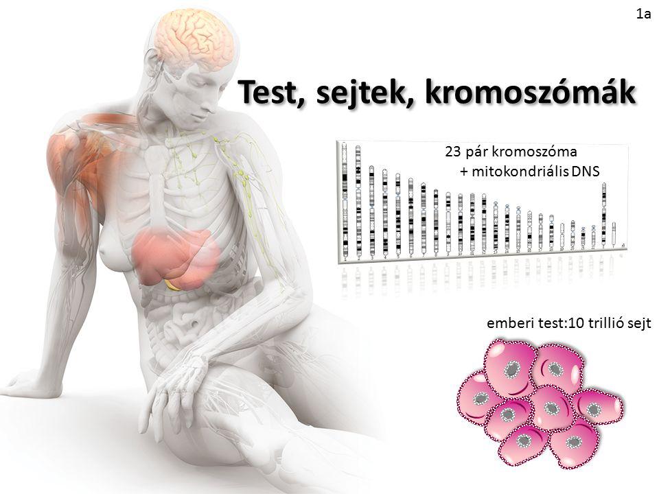"""Tripla X szindróma (XXX) E betegséget X triszómiának is nevezik, az érintett egyént pedig """"szupernőnek ."""