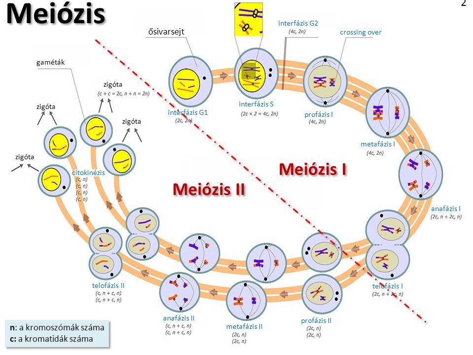 MEIÓZIS - I MEIÓZIS - II Nondiszjunkció meiózisban MEGTERMÉKENYÍTÉS ZIGÓTA 3 Diszjunkció = szétválás