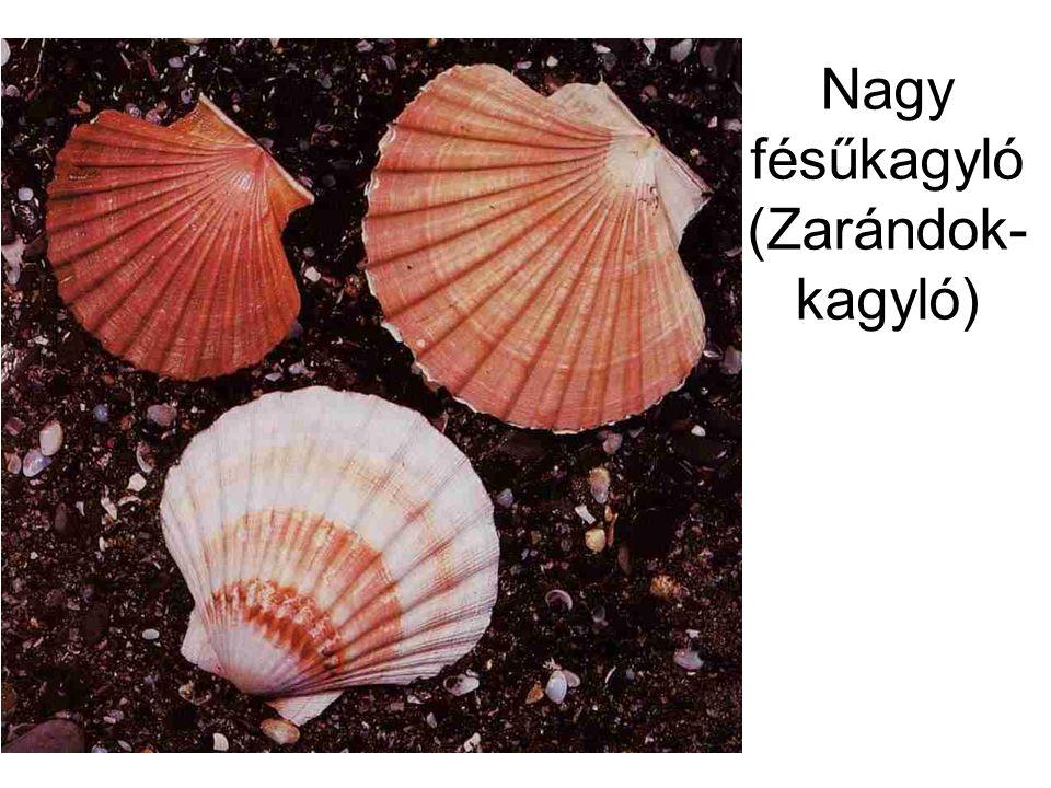 Nagy fésűkagyló (Zarándok- kagyló)