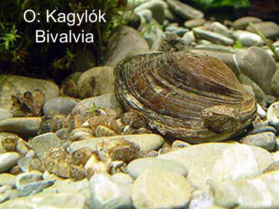O: Kagylók Bivalvia