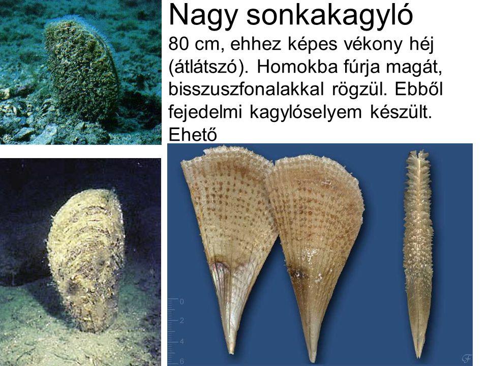 Nagy sonkakagyló 80 cm, ehhez képes vékony héj (átlátszó).