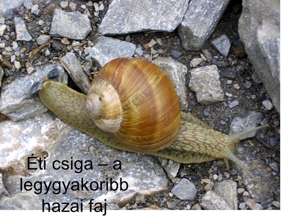Éti csiga – a legygyakoribb hazai faj