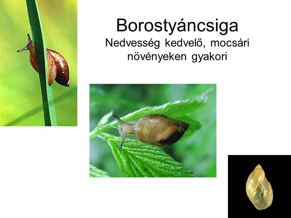 Borostyáncsiga Nedvesség kedvelő, mocsári növényeken gyakori