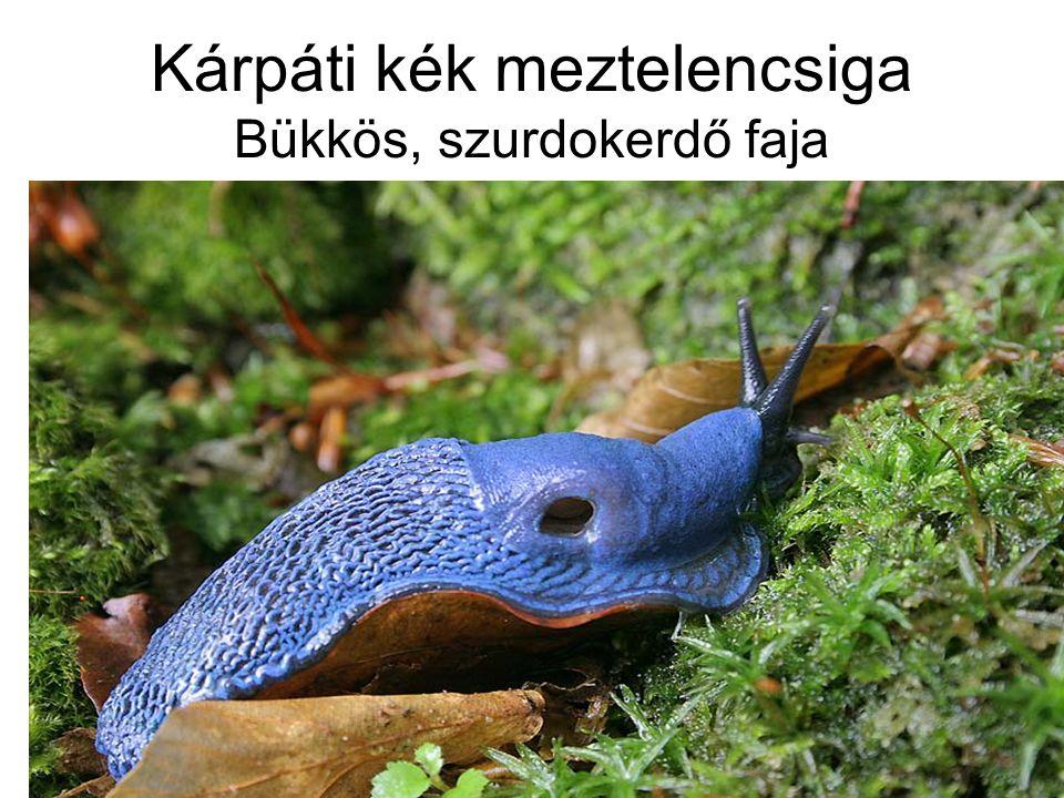 Kárpáti kék meztelencsiga Bükkös, szurdokerdő faja