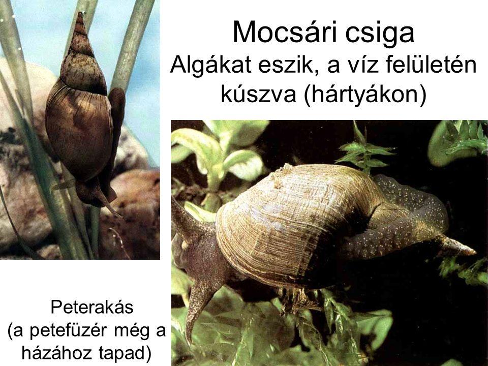 Mocsári csiga Algákat eszik, a víz felületén kúszva (hártyákon) Peterakás (a petefüzér még a házához tapad)