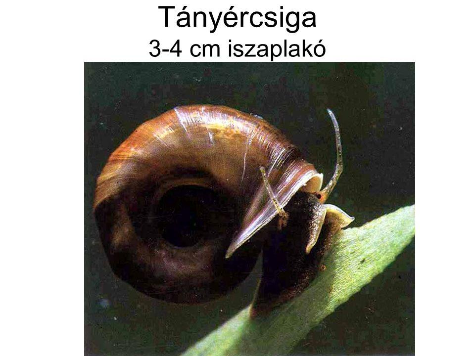Tányércsiga 3-4 cm iszaplakó