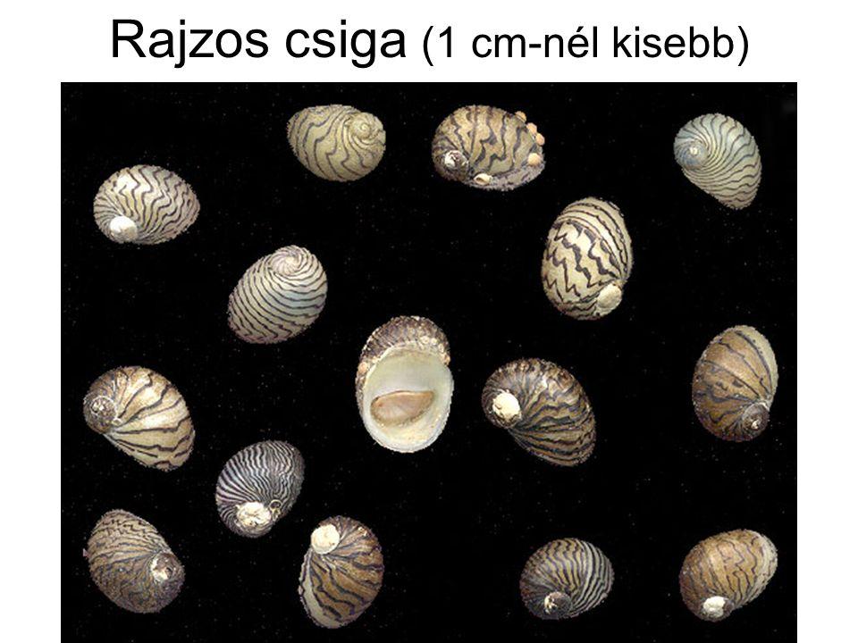Rajzos csiga (1 cm-nél kisebb)