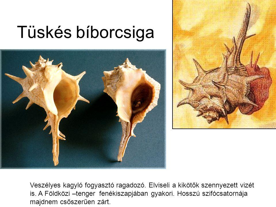 Tüskés bíborcsiga Veszélyes kagyló fogyasztó ragadozó.