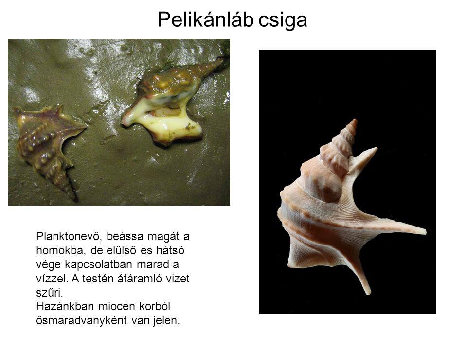 Pelikánláb csiga Planktonevő, beássa magát a homokba, de elülső és hátsó vége kapcsolatban marad a vízzel.