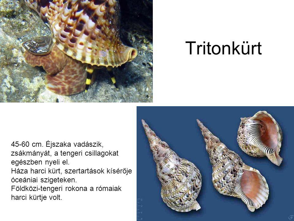 Tritonkürt 45-60 cm. Éjszaka vadászik, zsákmányát, a tengeri csillagokat egészben nyeli el.
