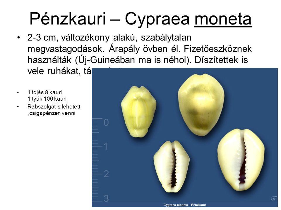 Pénzkauri – Cypraea moneta 2-3 cm, változékony alakú, szabálytalan megvastagodások.