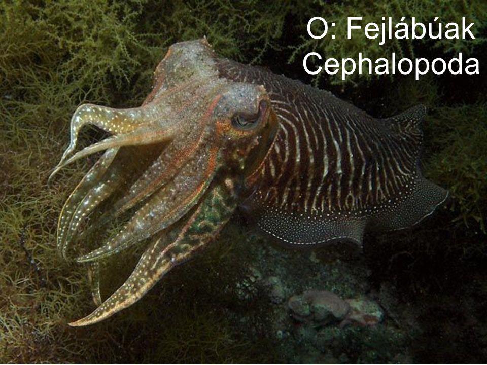 O: Fejlábúak Cephalopoda